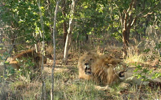 Vitória! Três leões são resgatados de circo e levados para casa em um santuário africano