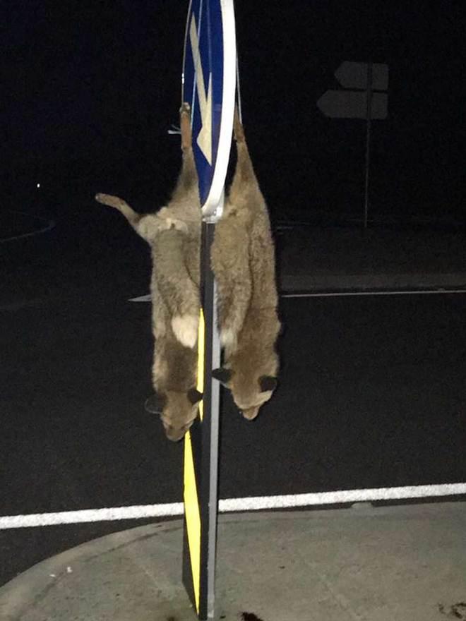 Raposas mortas e penduradas em sinal de trânsito suscitam investigação em Portugal
