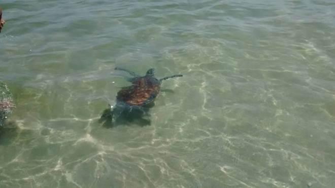 Tartarugas surpreendem frequentadores de praias de Niterói (RJ) com visita inesperada
