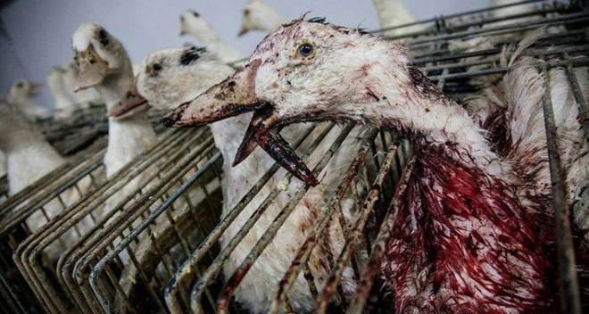 Florianópolis (SC) é mais uma cidade brasileira a proibir a produção e venda de foie gras
