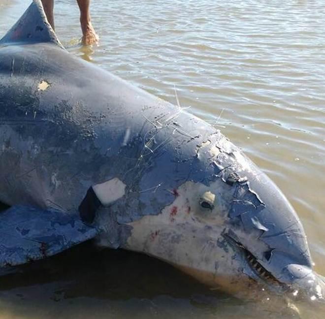 'Estrelinha' morre presa a linhas de pesca clandestina em Laguna, SC