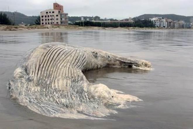 Parte de corpo de baleia é encontrada em Laguna, SC