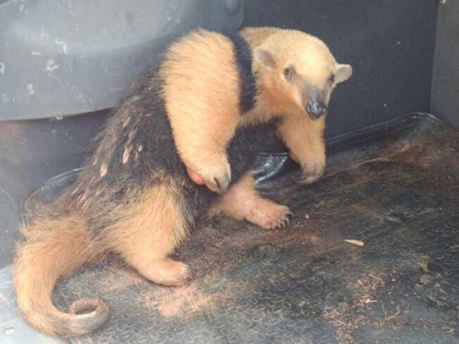 Filhote de tamanduá é encontrado no quintal de casa em Penápolis, SP