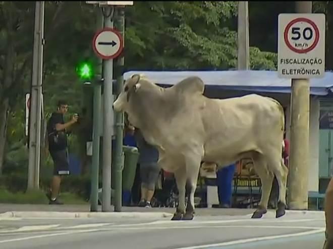 Touro invade avenida e assusta motoristas no centro de São José, SP