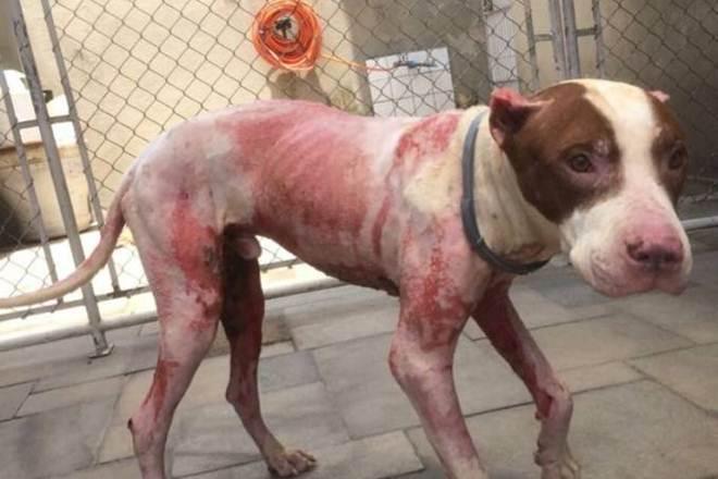 Casal resgata pit bull que teve 90% do corpo queimado