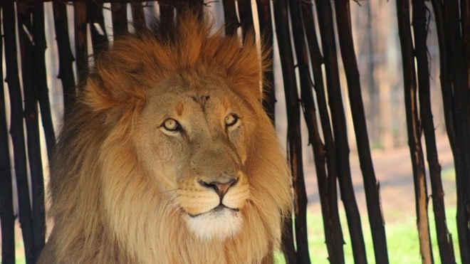 Polícia investiga morte de três leões que foram mutilados em reserva na África do Sul
