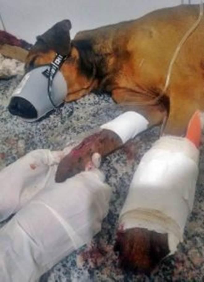 Cachorro sofre amputação após agressão em cidade do Agreste de Alagoas