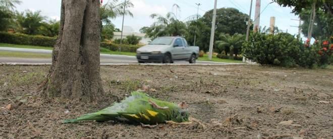 Pássaros são achados mortos em vários trechos de avenida em Manaus, AM