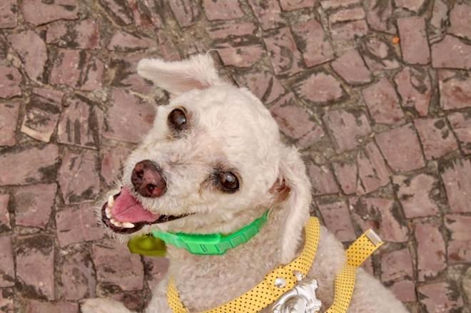 Poodle de 14 anos desaparece de vila militar na Ponta Negra, em Manaus, durante o Reveillon