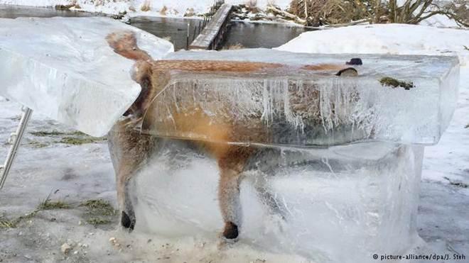 Raposa congela em rio na Alemanha