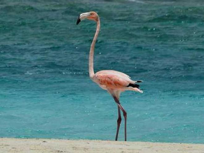 No zoológico argentino fraturam as asas dos flamingos para que não escapem