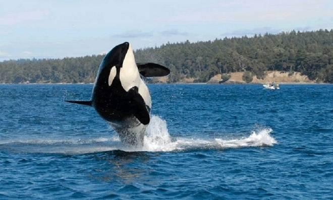 Baleia orca mais velha do mundo morre aos 105 anos, dizem cientistas