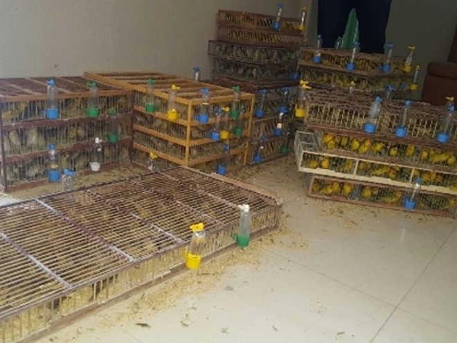 Dupla é detida no Ceará com 1,5 mil pássaros capturados do Cerrado