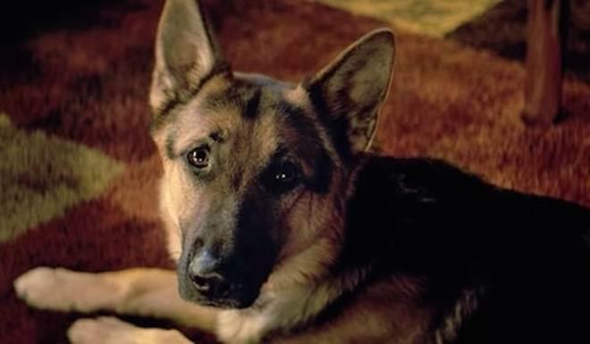 Equipe de filmagem de 'Quatro Vidas de um Cachorro' pode pegar seis meses de prisão por maus-tratos a cão