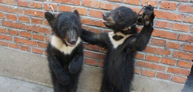 ONG mostras imagens fortes sobre os maus-tratos que sofrem os ursos em circos