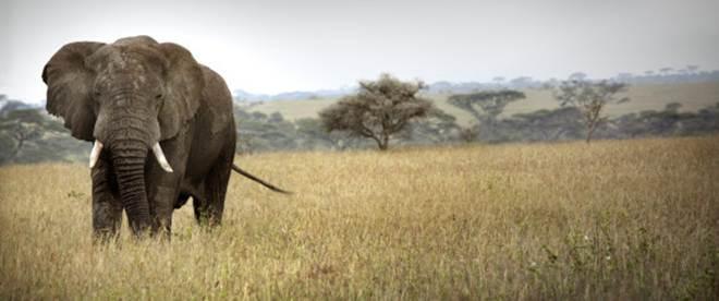 Plano da China pode reverter mortes em massa de elefantes