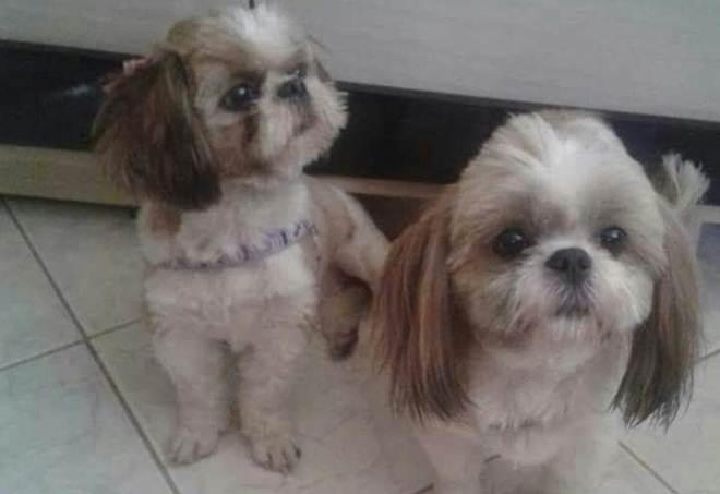 Família faz apelo para ter de volta cachorras sequestradas no Guará I, em Brasília, DF