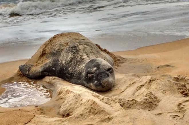 Doente, elefante-marinho Fred será tratado em uma casa adaptada em Guriri, ES