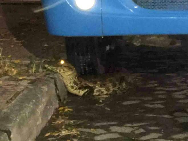 Jacaré é visto perto de ônibus em rua de Jardim Camburi, em Vitória, ES