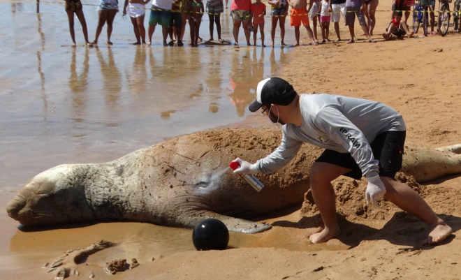 Banhista tenta montar em elefante-marinho machucado em praia da Serra, no ES