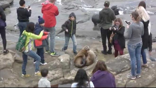 Turistas apavoram leões-marinhos para tirar fotos