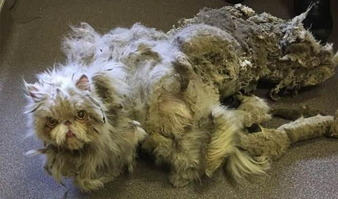 Gato passa por transformação inacreditável após ser encontrado com patas atrofiadas e pelos em excesso