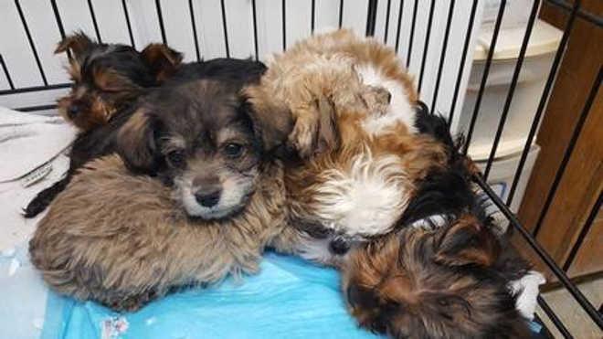 Policiais resgatam mais de 100 filhotes de cachorro após acidente com van, nos EUA