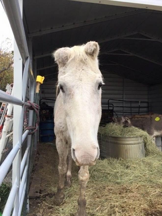 Cavalo idoso em 'lote da morte' decide se resgatar