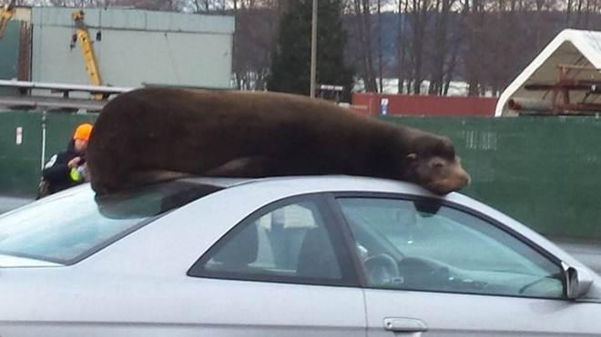 Leão-marinho ignora público e sobe em carro para relaxar; vídeo