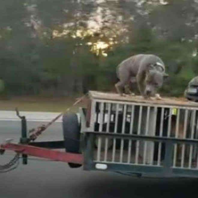 Cachorro é flagrado acorrentado sobre bagageiro de carro em alta velocidade, nos EUA; vídeo