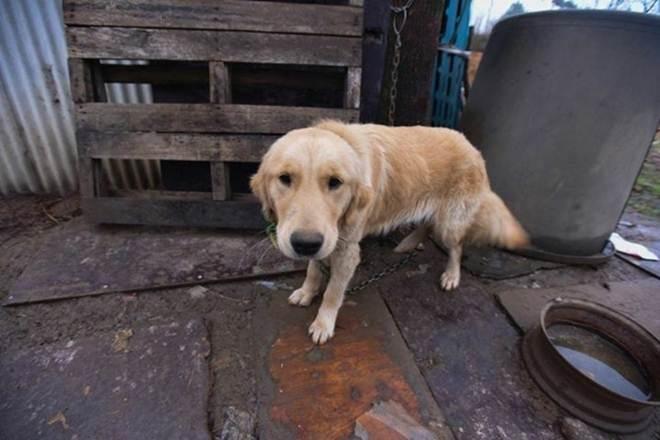 Veja a mudança radical de cadela que ia ser comida após ser adotada por família