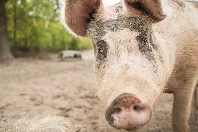 Porco que se salvou de incêndio em uma fazenda tem os olhos mais lindos do mundo