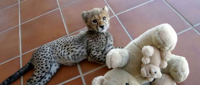 Chitas, tigres e leões proibidos como animais de estimação nos Emirados Árabes Unidos