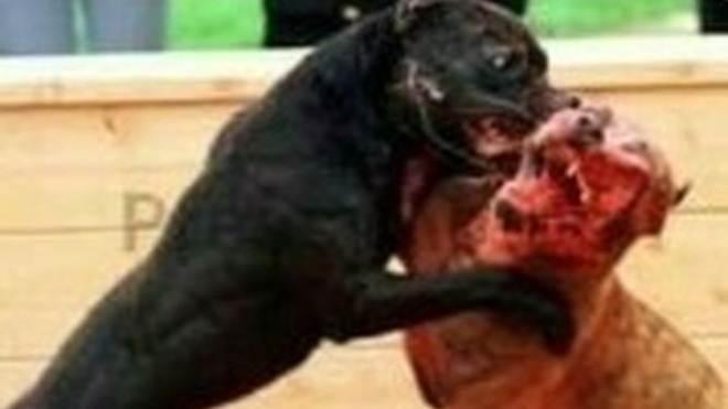 Homem é investigado após compartilhar fotos de animais feridos em lutas ilegais
