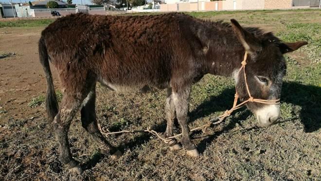 Resgatistas encontram mula que passou anos amarrada em um campo – e ela tem um segredo