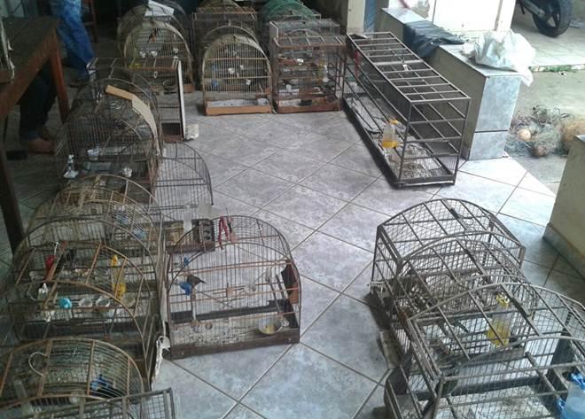 PM fecha rinha de galos e criadouro ilegal de pássaros em Uruana, GO