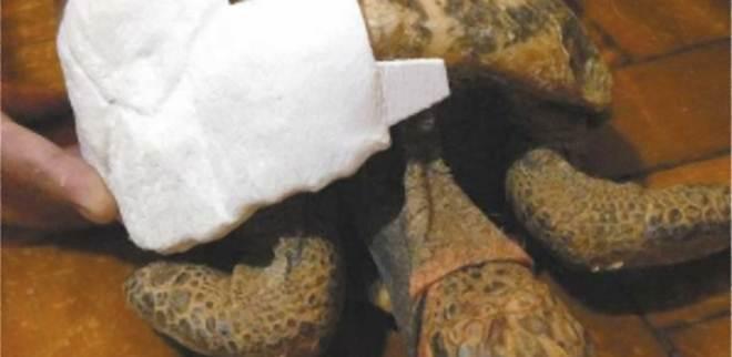 Animais silvestres viram pet e são maltratados; jabuti vai receber casco 3D