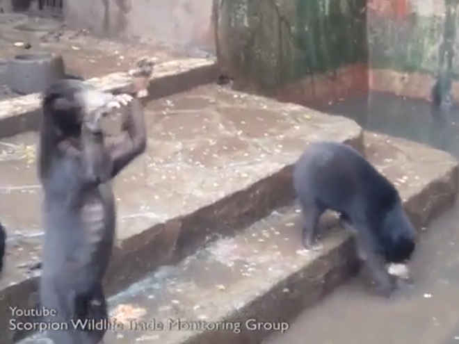 Vídeo mostra ursos subnutridos implorando por comida em zoológico na Indonésia
