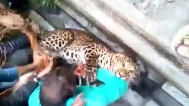 Leopardo ataca moradores após invadir vila e causar tumulto, na Índia; vídeo