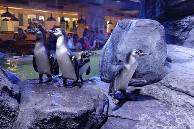 Restaurante de shopping exibindo pinguins vivos é alvo de protestos de ativistas