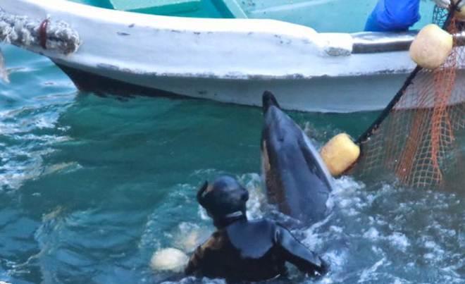 Foto desoladora captura os últimos momentos de liberdade de um golfinho em Taiji, Japão