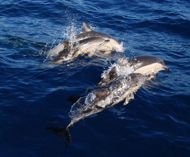 Quatro golfinhos escapam de parque marinho onde estavam presos em Taiji, no Japão