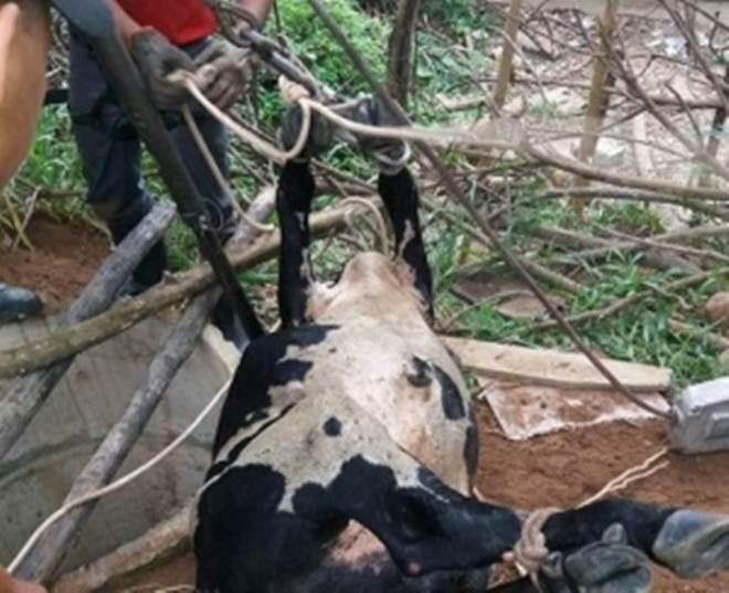 Bombeiros salvam uma vaca em Cachoeira Alegre, MG