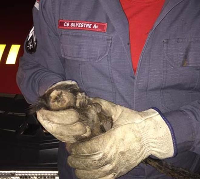 Bombeiros salvam mico-estrela em Conselheiro Lafaiete, MG