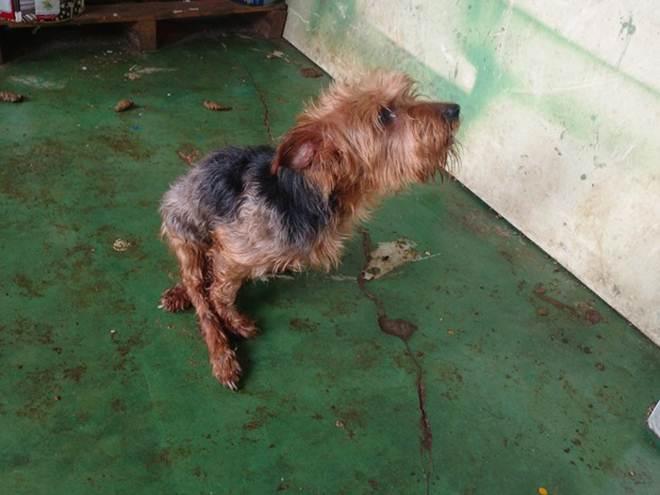 Cachorro é encontrado em situação de maus-tratos em Uberlândia, MG