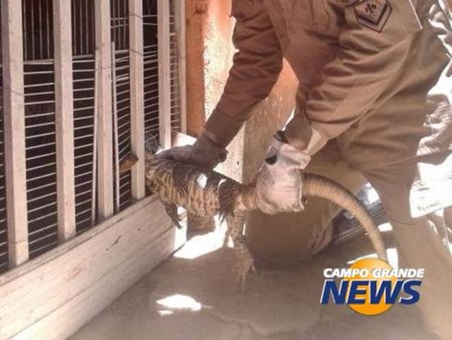 Lagarto de 80 centímetros fica preso em grade ao tentar entrar em casa em Corumbá, MS
