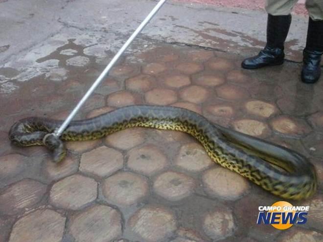 Morador encontra sucuri de 3 metros na frente da garagem de casa em Ladário, MS