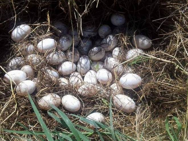 Ninhada de jacaré é levada para Ilha Solteira, SP
