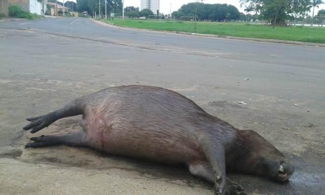 Secretaria de Meio Ambiente recolhe capivara atropelada na Lagoa Maior, em Três Lagoas, MS