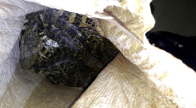 Polícia ambiental autua em R$ 3,5 mil infrator detido transportando cinco jacarés vivos e carne do animal